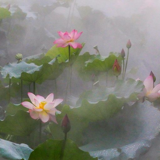Lotus Flowers in Fog